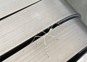 ナナフシ幼虫の写真