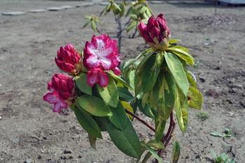 西洋石楠花ルーズベルトの開花画像
