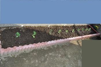 八月咲き菊の苗植え画像