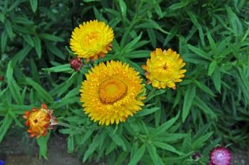Helichrysum_3.jpg
