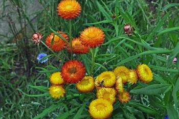 Helichrysum_5.jpg