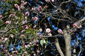 楠公社梅の花2