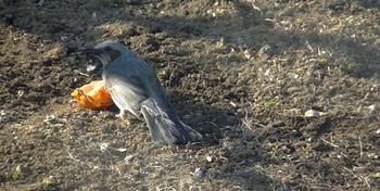 源義経・一ノ谷(城戸の戦い)の奇策「ひよどり越えの逆落とし」で有名なヒヨドリが好物のミカンを啄む写真