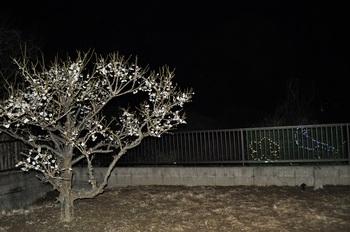 梅とウグイス.jpg