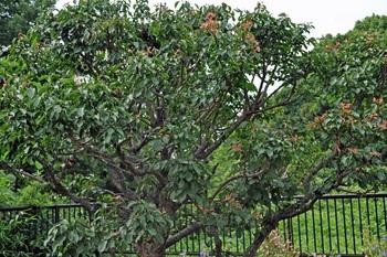 新芽の梅の木画像