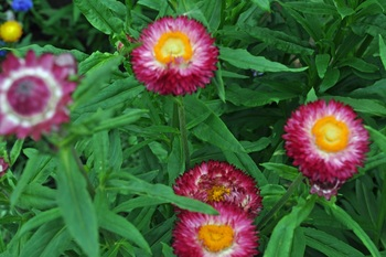 Helichrysum_4.jpg