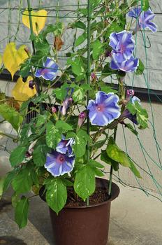 植木鉢の朝顔